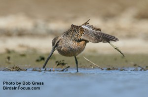 Long-billed Dowitcher at Quivira NWR by Bob Gress