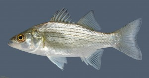 Morone chrysops  White Bass 1_3