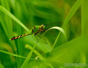 Green Dragonfly:       Photo Credit: Neahga Leonard
