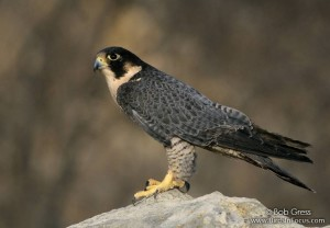 Peregrine Falcon by Bob Gress