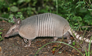 Nine-banded Armadillo by Tom Friedel / Creative Commons