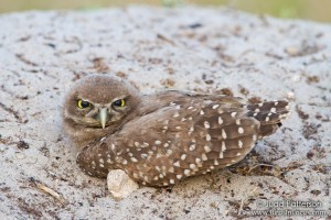 Burrowing Owl Photo by Judd Patterson