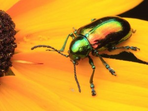 Dogbane Beetle on a Black-eyed Susan.