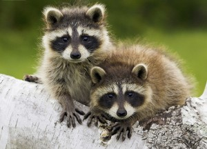 Raccoon (Procyon lotor)  Photo Credit: http://www.raccoonfactshub.com