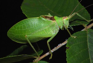 Katydid. Photo from  http://www.leaps.ms