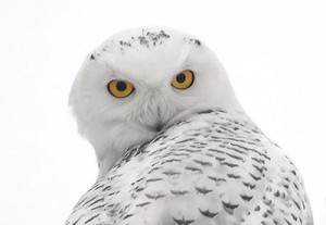 Snowy Owl: Photo credit: Willistown Conservation Trust.