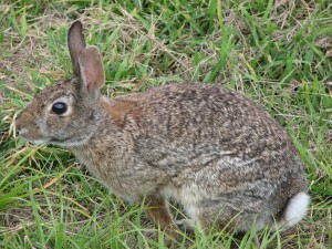 Cottontail rabbit (Sylvilagus floridanus) photo by Harvey Henkelmann