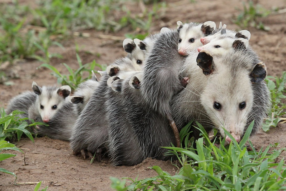Opossum Kansas Virginia Opossum  Didelphis
