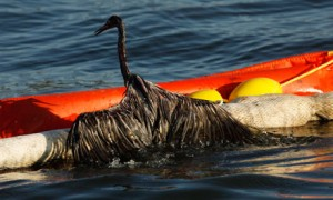 A bird covered in oil from the BP Deepwater Horizon spill struggles to climb on to a boom in Barataria Bay in the Gulf of Mexico. Photograph: Gerald Herbert/AP