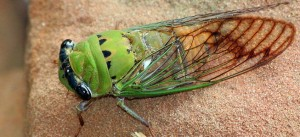 Cicada by Texas Eagle