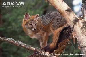 Gray Fox:  Photo Credit: T. Kitchin & V. Hurst