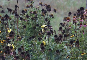 Goldfinches on Purple coneflower seed heads.