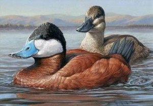 Winning artwork of a pair of Ruddy Ducks painted in acrylic by Jennifer Miller of Olean, New York