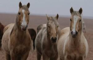 Wild Horses; Photo from Wichita Eagle