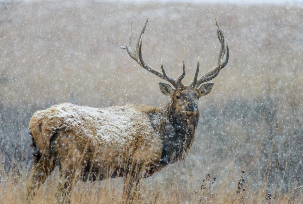 Elk Photo by Jeff Heidel of HeidelPhotography.com