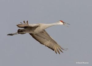 Sandhill crane photo by David Roemer.