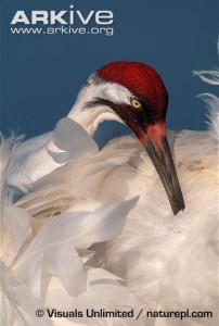 Since whooping cranes are occurring more frequently in Kansas, especially at Cheyenne Bottoms and the Quivira National Wildlife Refuge and their surrounding areas, waterfowl hunters must be able to identify the endangered Whooping crane.