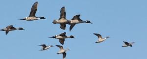 Ducks in flight.