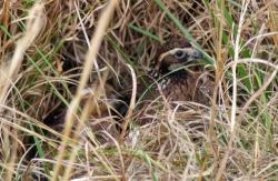 The familiar whistle of the bobwhite quail has almost disappeared throughout its traditional range, mainly because of a significant change in land use.