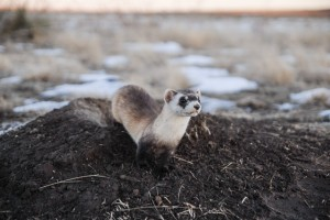 One of the first ferrets reintroduced to the Haverfield property in December 2007.