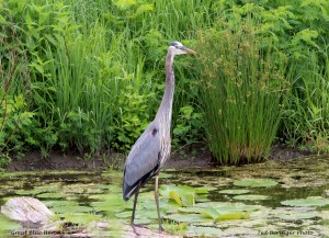 Great Blue Heron by Ted Beringer