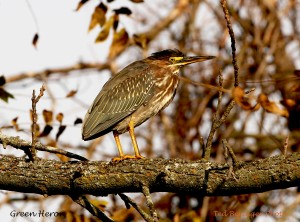 Green Heron by Ted Beringer