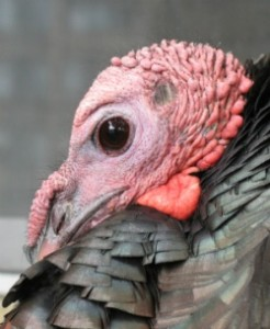 Close-up of Turkey's snood