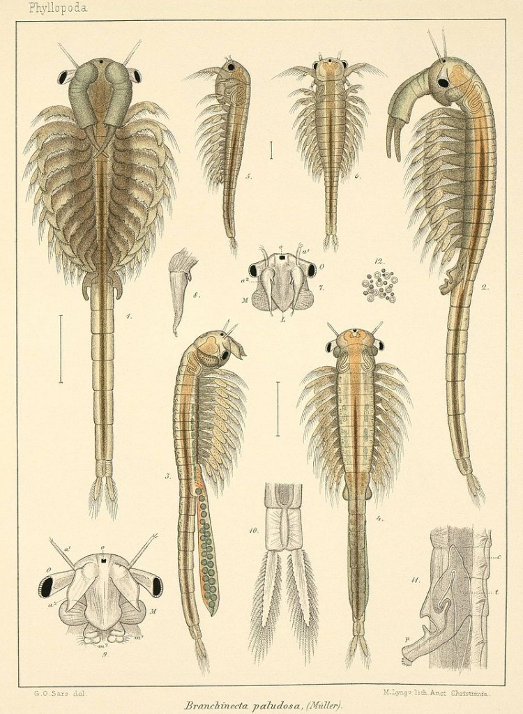 Fairy Shrimp drawn by Norwegian zoologist Georg Ossian Sars (1896)