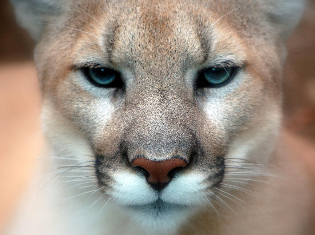 Cougar      Photo Credit: Art G. (Flickr)