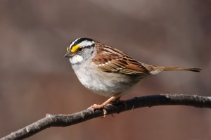 White-throated Sparrow photo by Simon Pierre Barrette
