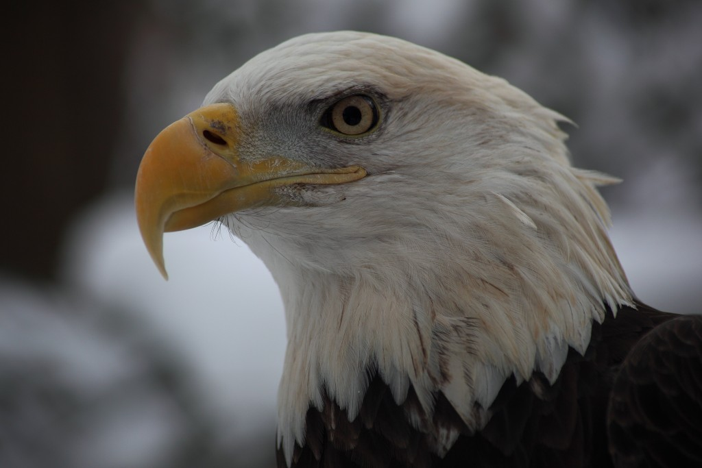 The Bald Eagle (Haliaeetus leucocephalus): Photo by ForestWonder