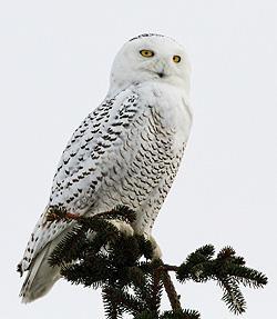 Snowy Owl by Jane Ogilvie, VT