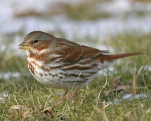Fox Sparrow from Audubon Guide to North American Birds