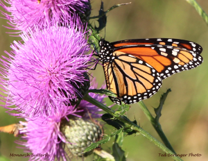 Monarch feeding on thistle.